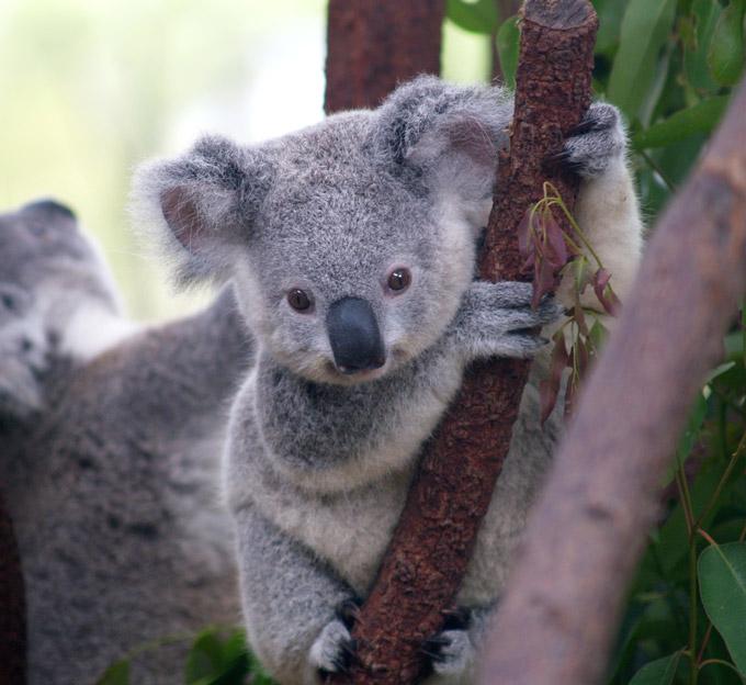 Cuddle the koalas at Currumbin Wildlife Sanctuary.