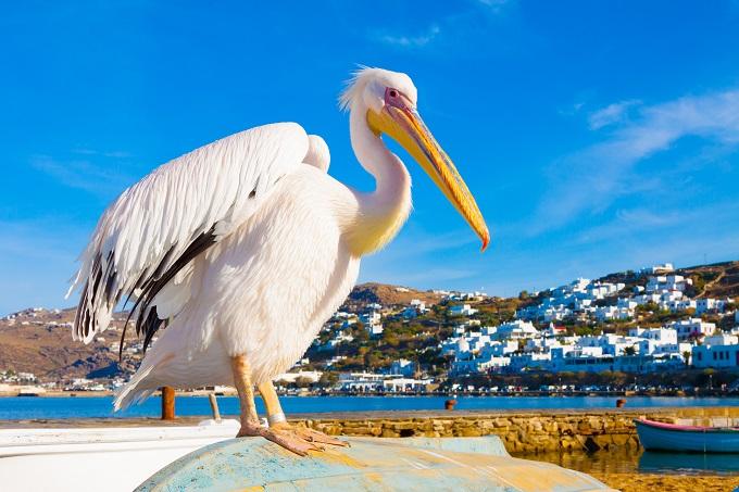 Meet the island's pelican mascots