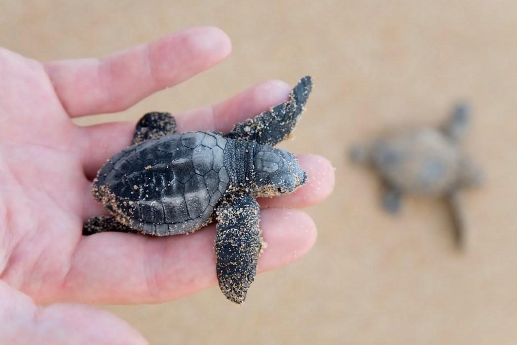 Baby sea turtle, Sri Lanka