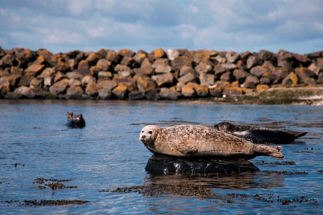 Seal lying on its side in the harbour on Rathlin Island, Ireland