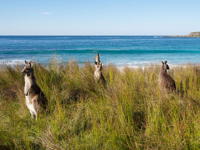 Kangaroos at Batemans Bay