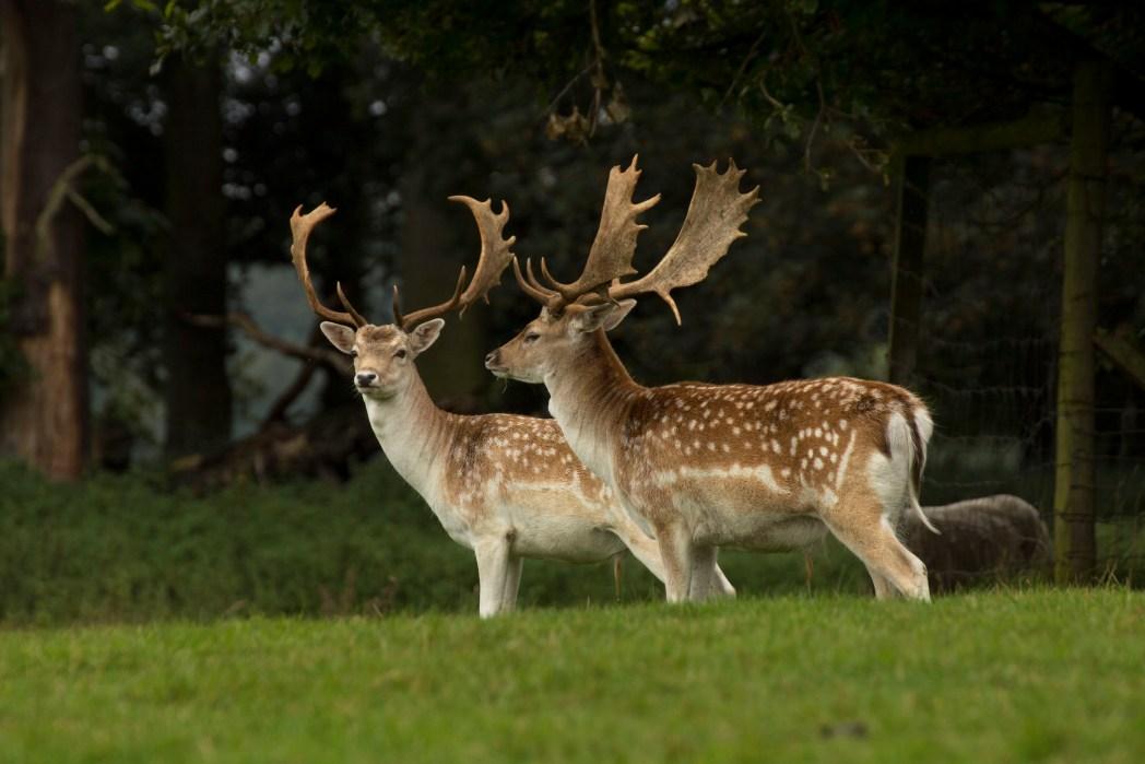 Fallow deer at Tatton Park