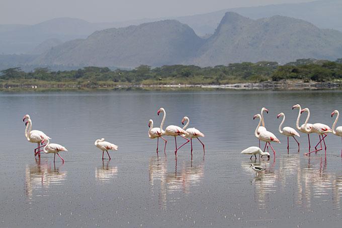 Lesser flamingos on Lake Elementaita, Kenya