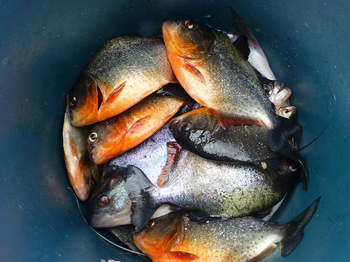 Try some piranha for supper in Manaus.